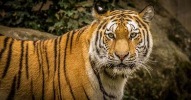 Вымирающие тигры вернулись в западный Таиланд