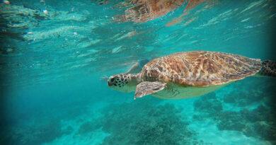Вымирающие морские черепахи выпущены в дикую природу на Бали после спасательной операции