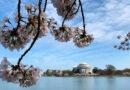 Как увидеть цветущие сакуры в Вашингтоне, даже если вы не можете посетить